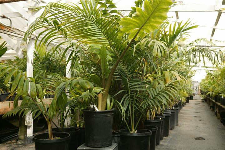 Palm Trees At Nursery