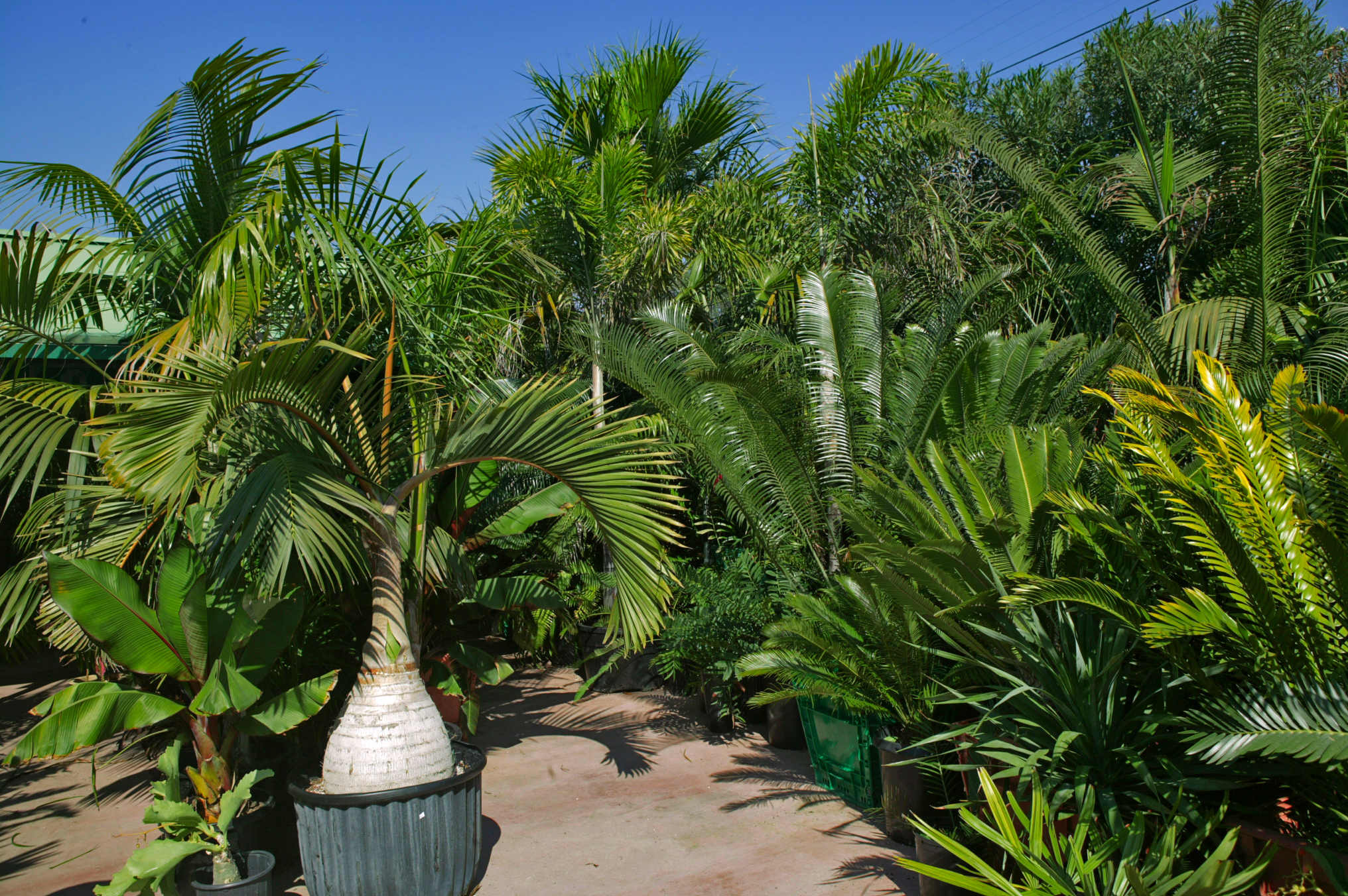 Tour of Jungle Music Palms, Cycads & Tropical Plants