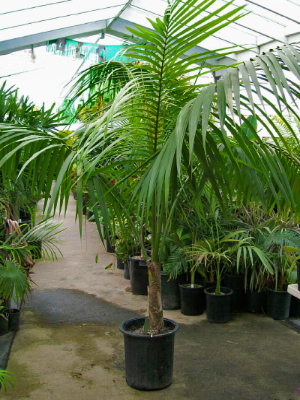 nice tips for gardener growing indoor palm plants, Natural flower