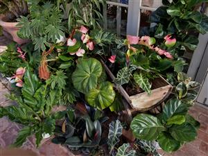 Anthurium and other tropical plants