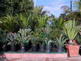 front Jungle Music cycads