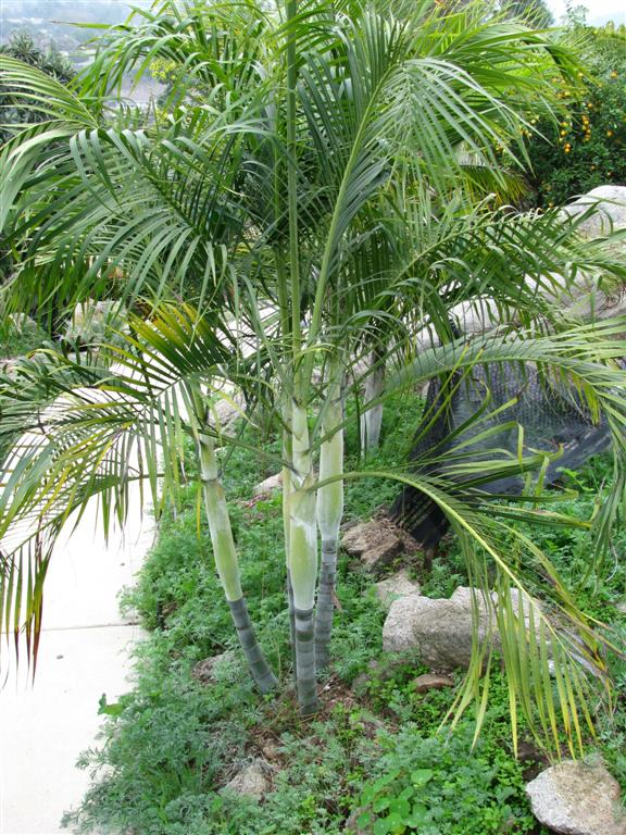 RECOMMENDED PALM TREE SPECIES FOR SOUTHERN CALIFORNIA