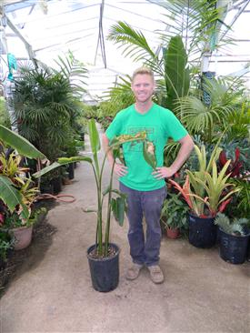 Heliconia species unknown dug