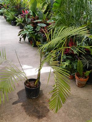 palm species probably Dypsis hybrid