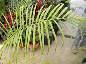 Probable Dypsis baronii hybrid
