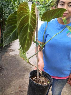 Philodendron exotic hybrid