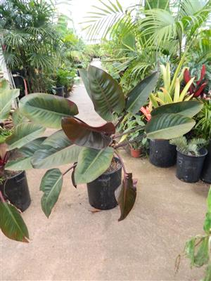 Philodendron red congo 7g two plants