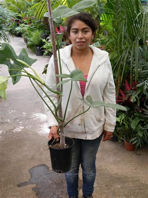 Philodendron species climber bizarre leaf