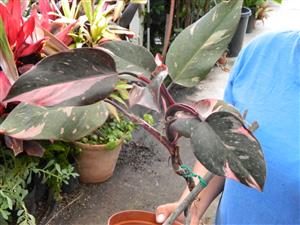 Philodendron species painted pink and green leaves