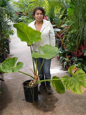 Philodendron species poss variegated large leaves