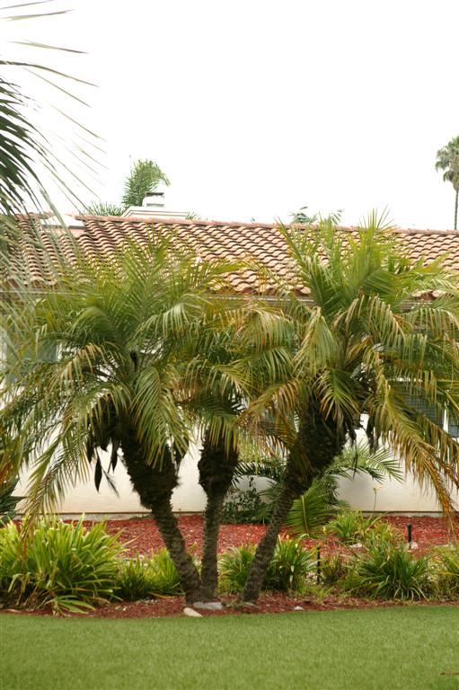 The Pygmy Date Palm Phoenix Roebelenii The Dwarf Date Palm