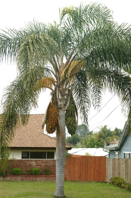 Queen Palm In Fruit