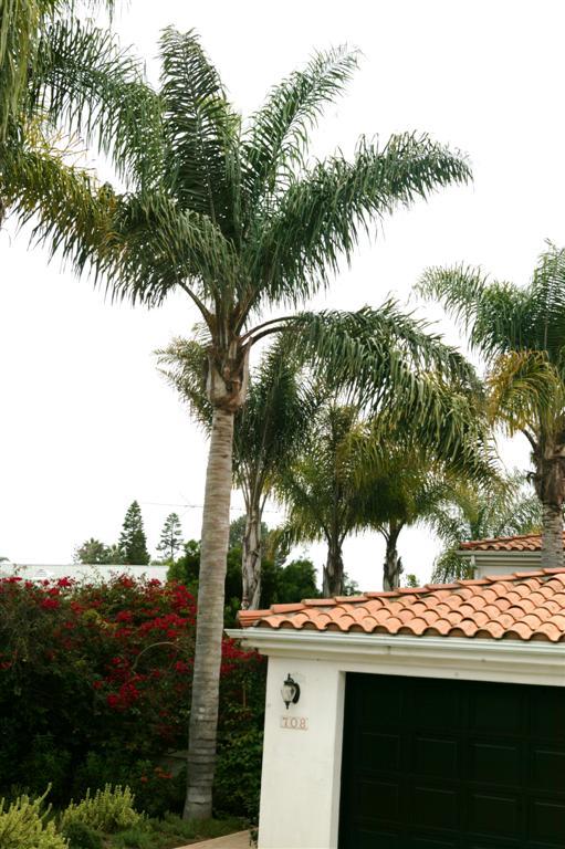 The Queen Palm Syagrus Romanzoffiana