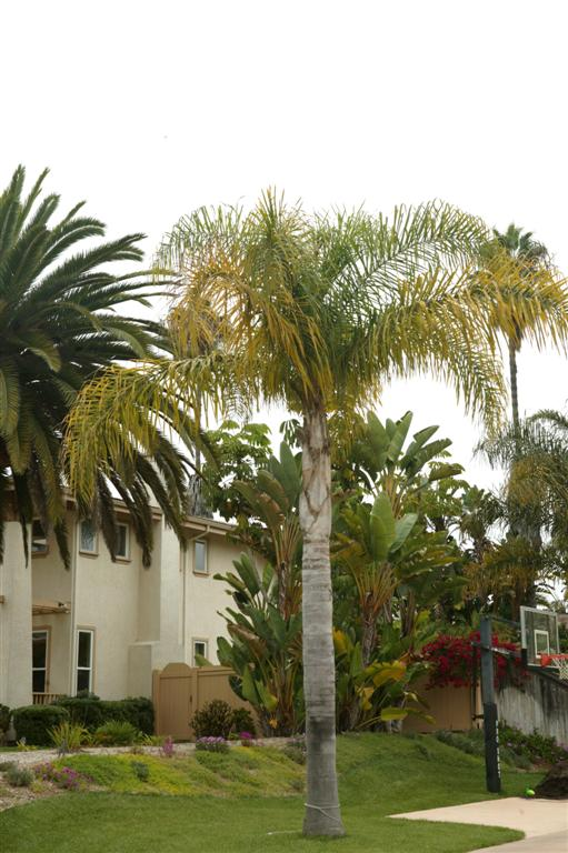 Queen Palm with nutritional deficiency