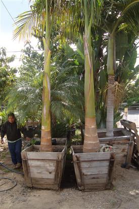 Royal Palm Roystonea Regia The Cuban Royal Palm