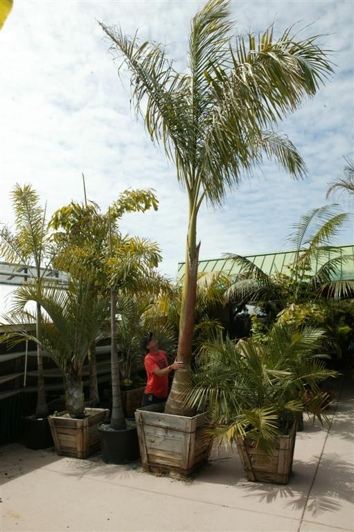 Royal Palm large