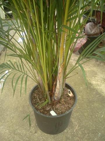 The areca palm dypsis lutescens leaves of the areca palm mightylinksfo
