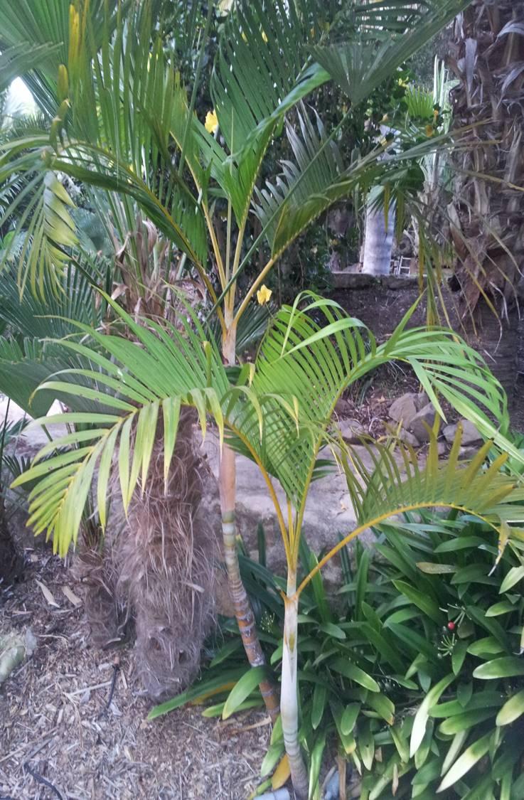 areca palm chrysalidocarpus lutescens rachael edwards. Black Bedroom Furniture Sets. Home Design Ideas