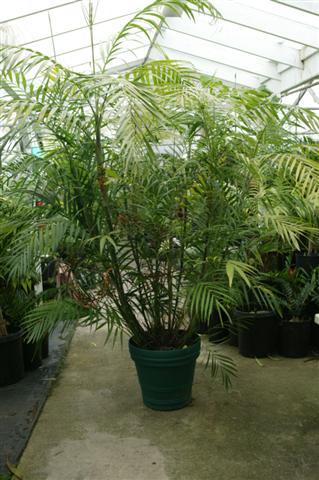 Chamaedorea Seifrtzii The Clic Bamboo Palm Hooperiana