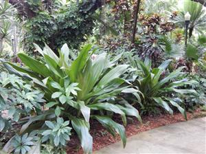 Tropical Landscape Emphasis On Palm Trees Cycads And Companion Plants