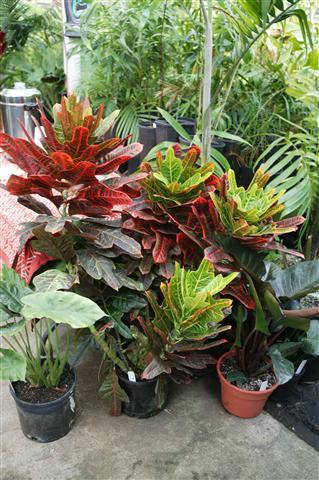 Croton Ti Red