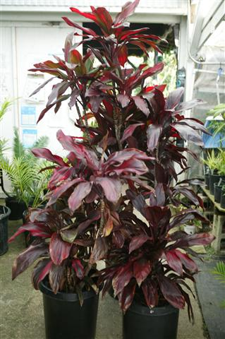 TROPICAL PLANTS - Rainforest Plants that Look Great in the ... on house plants with white leaves, house plants with bronze leaves, house plants with variegated leaves, house plants with light green leaves,