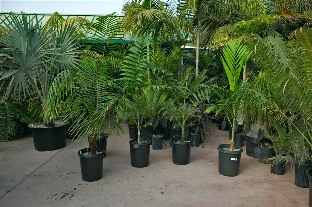 Assorted larger palms at nursery