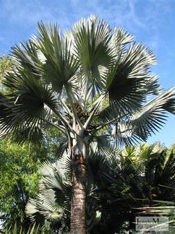 bismarckia palm tree