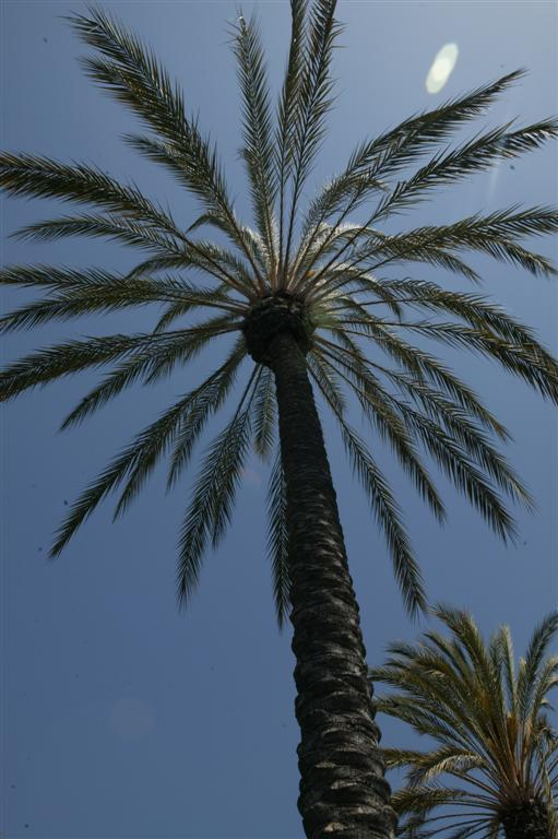 Date Palms The True Palm And