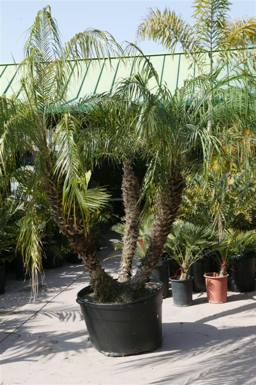 Robellini Palm Growth Rate No worries property maintenance – trees