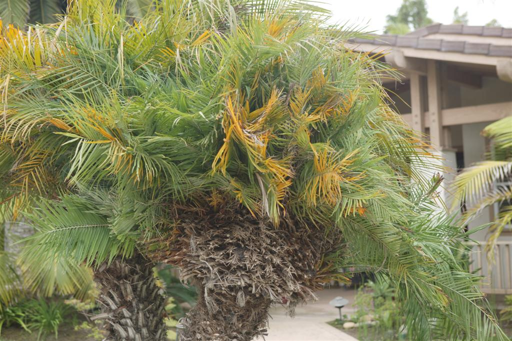 Buy Pygmy Date Palms For Sale from San Diego - We Deliver!