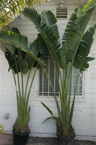 Indoor Palm Plants Types Traveler palm
