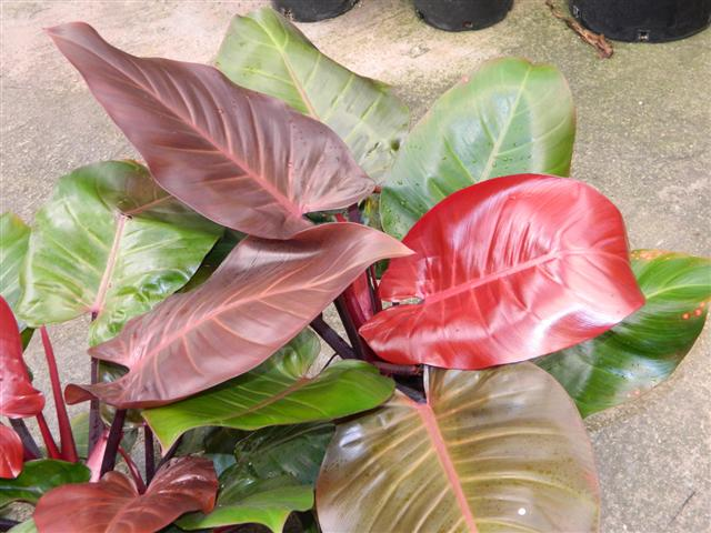 TROPICAL PLANTS - Rainforest Plants that Look Great in the ... on peppers red, animals red, ornamental grasses red, orchids red, berries red, cactus red, pots red, design red, nature red, mums red, flowers red,