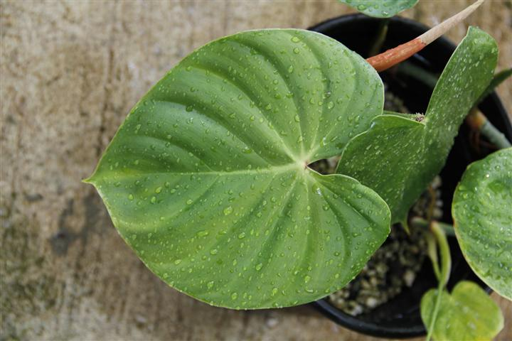 Philodendron, Philodendron Species