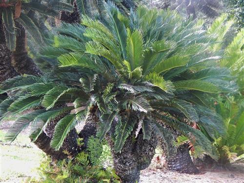 Sago Palm Cycas Revoluta Multiple