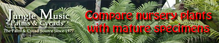 Compare Palms and Cycads with mature specimens