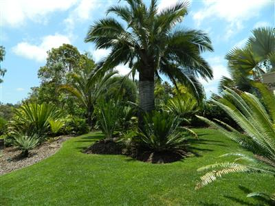 Cycads in the garden