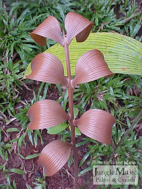 Zamia skinneri red emergent
