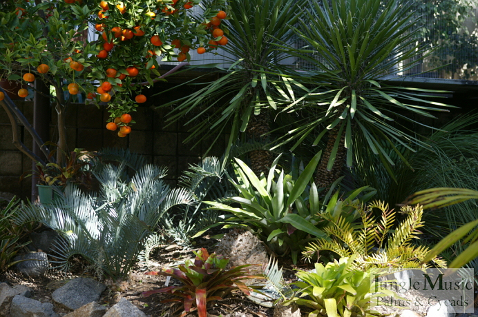Cycad garden designs garden ftempo for Cycas landscape design