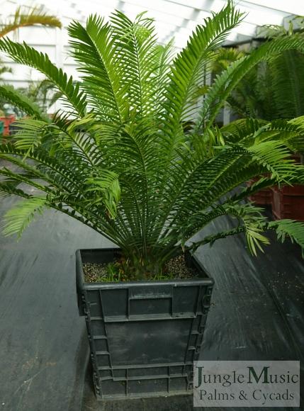 E. natalensis boxed plant
