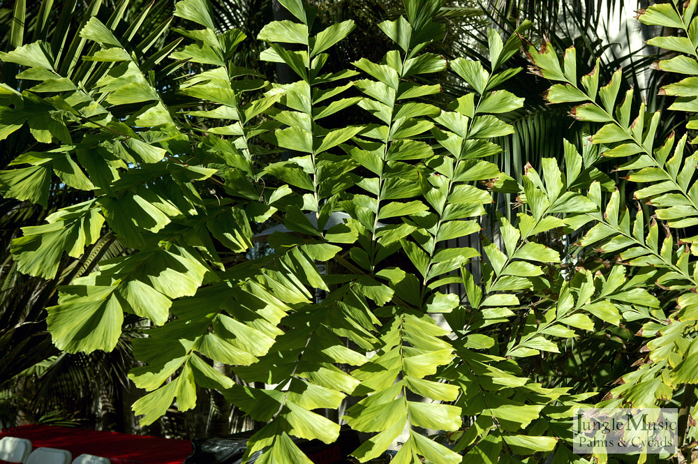 ../gallery2/gallery//large/palms/Caryota_gigas1_leafdetail-01072006.JPG