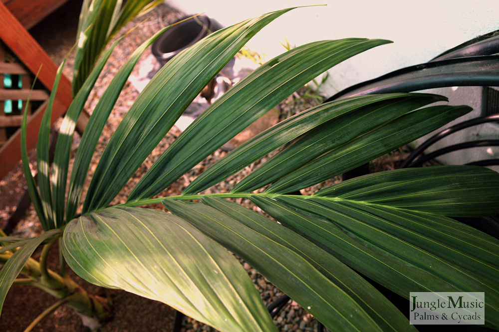 ../gallery2/gallery//large/palms/Chambeyronia_houailou3-01072006.JPG