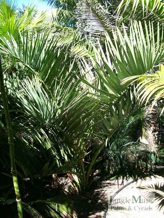 ../gallery2/gallery//large/palms/Dypsis_decipiens6_coloredFEB1707.jpg