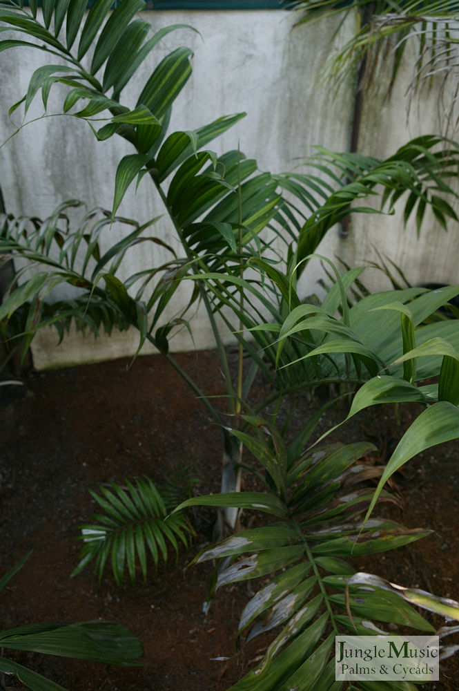 ../gallery2/gallery//large/palms/Dypsis_lanceolata1-01072006.JPG