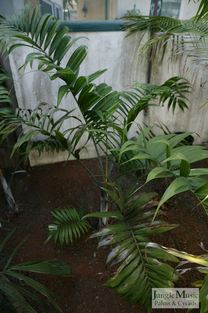 ../gallery2/gallery//large/palms/Dypsis_lanceolata2-01072006.JPG