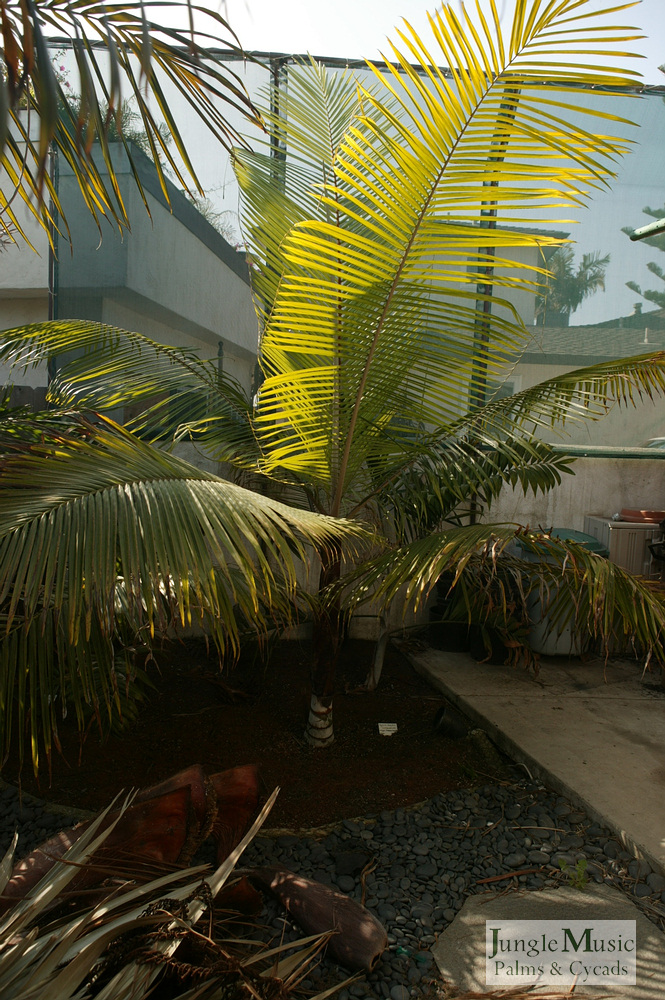 ../gallery2/gallery//large/palms/Dypsis_leptocheilos1-01072006.JPG