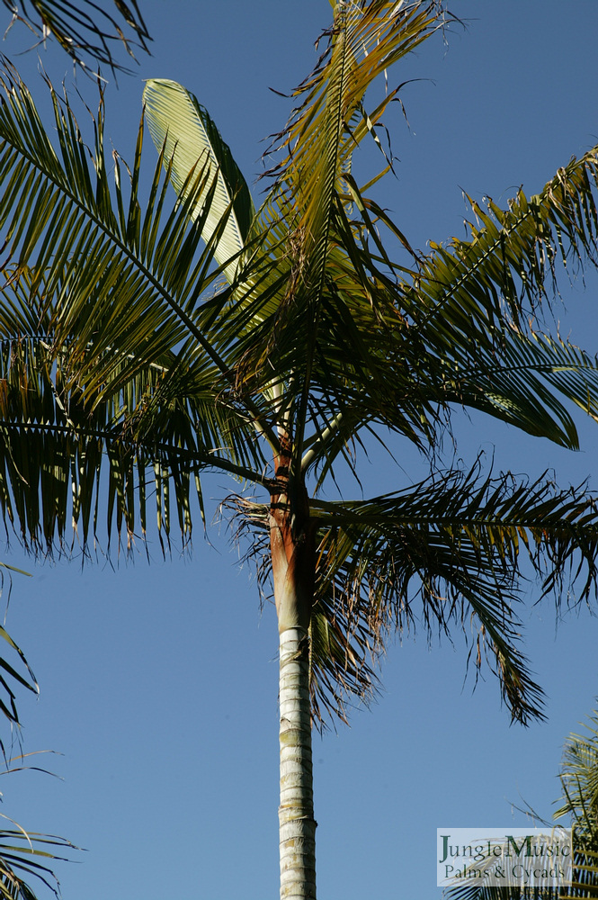 ../gallery2/gallery//large/palms/Dypsis_leptocheilos5_oceanfront-01072006.JPG