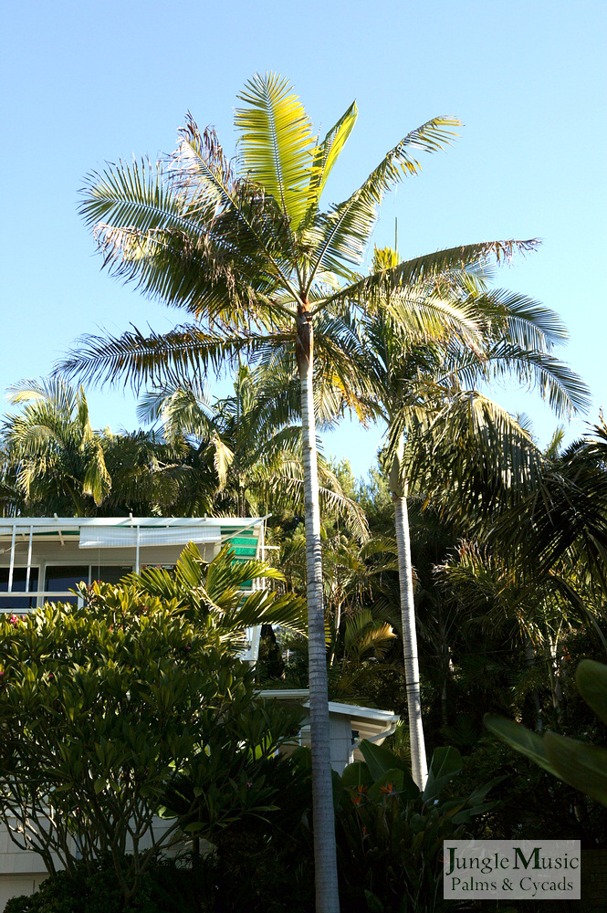 ../gallery2/gallery//large/palms/Dypsis_leptocheilos6_oceanfront-01072006.JPG