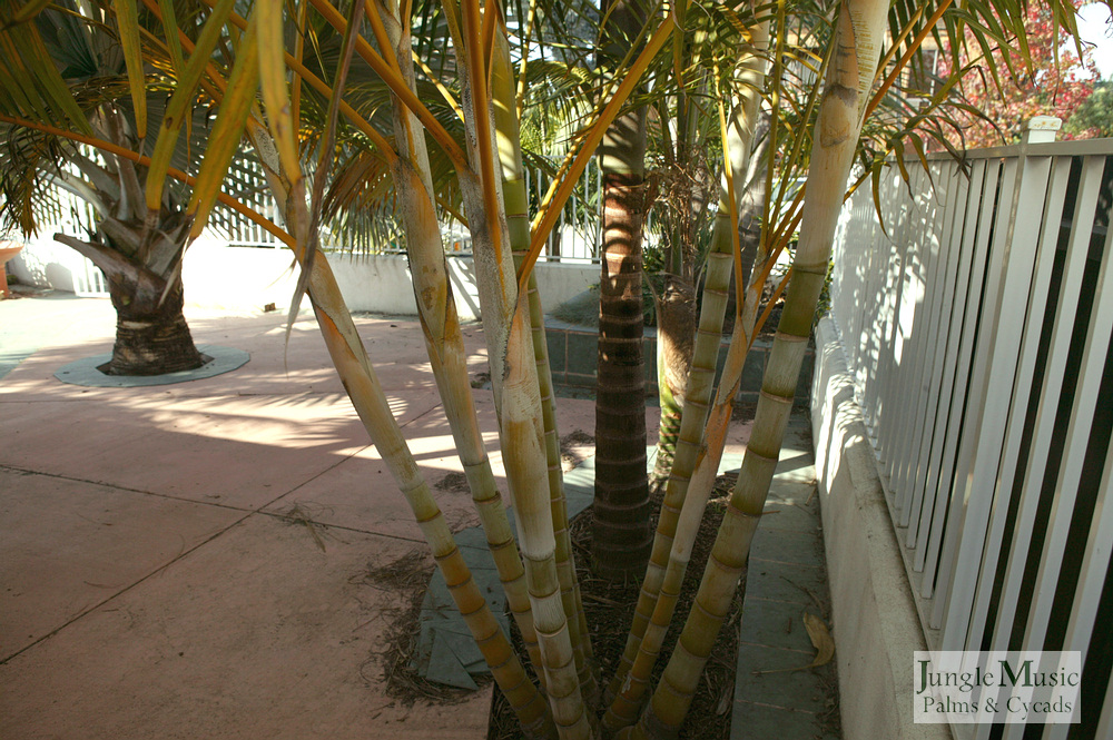 ../gallery2/gallery//large/palms/Dypsis_lutescens3-01072006.JPG