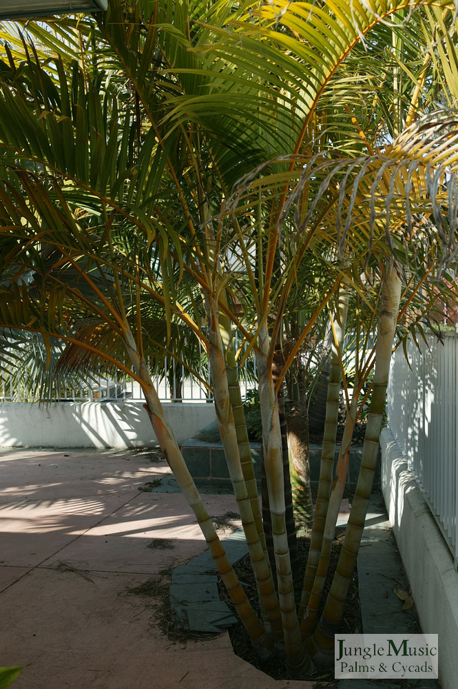 ../gallery2/gallery//large/palms/Dypsis_lutescens6-01072006.JPG